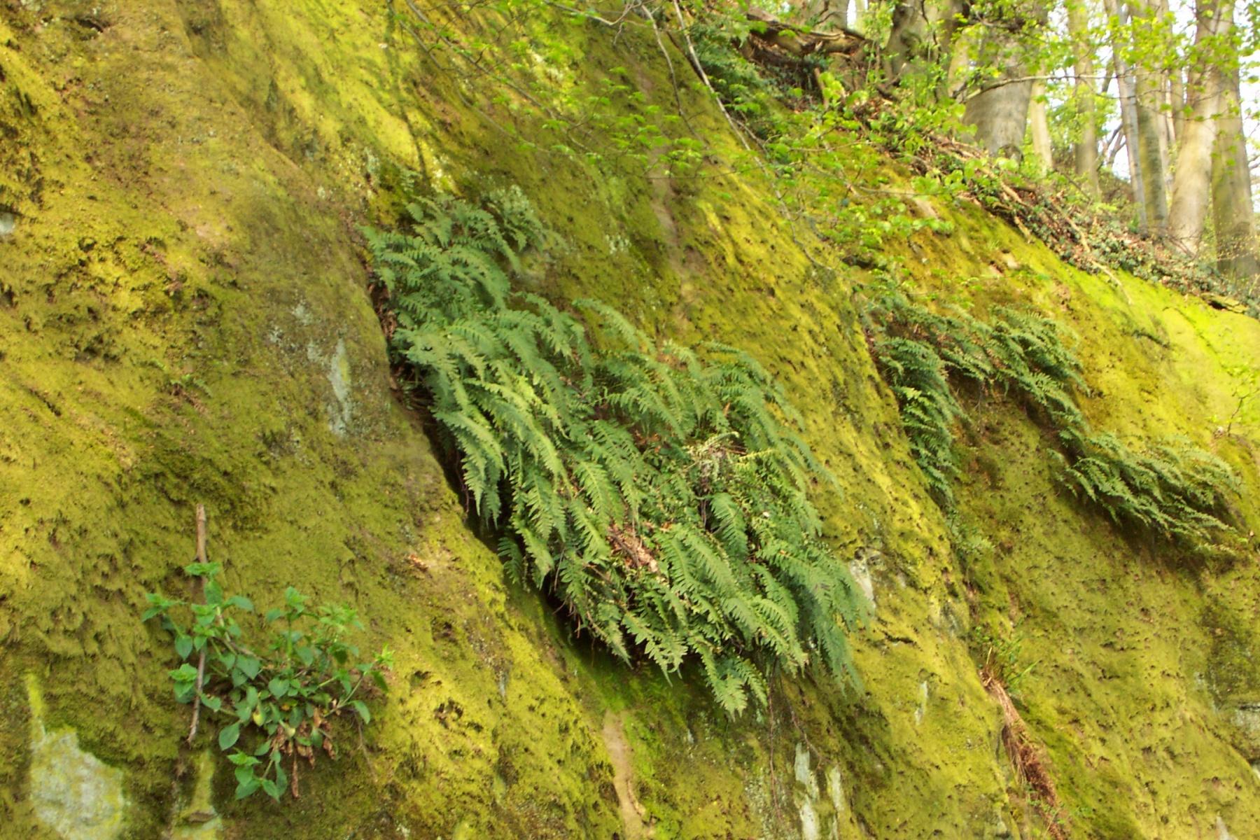 Farn an der Felswand